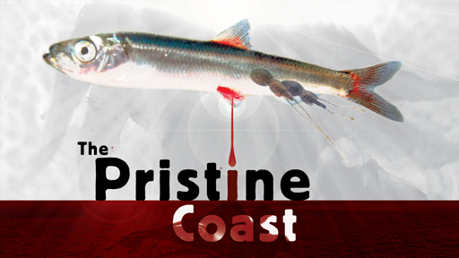 Photo of a bleeding herring serves as a link to The Pristine Coast film page