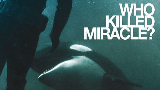 Photo of a killer whale trying to bite a scuba diver serves as a link to the Who Killed Miracle film page