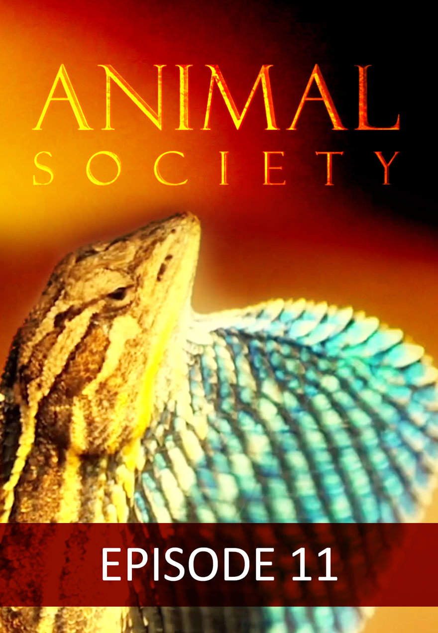 Poster of a lizard serves as a link to the Animal Society Episode 11 film page