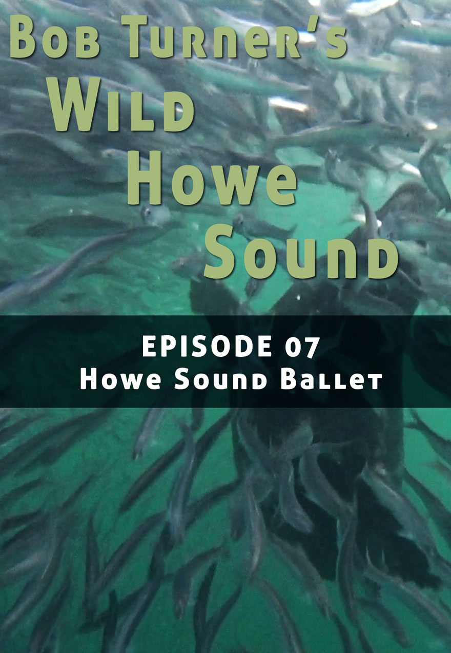 Poster of herring serves as a link to Bob Turner's Wild Howe Sound Episode 7 film page