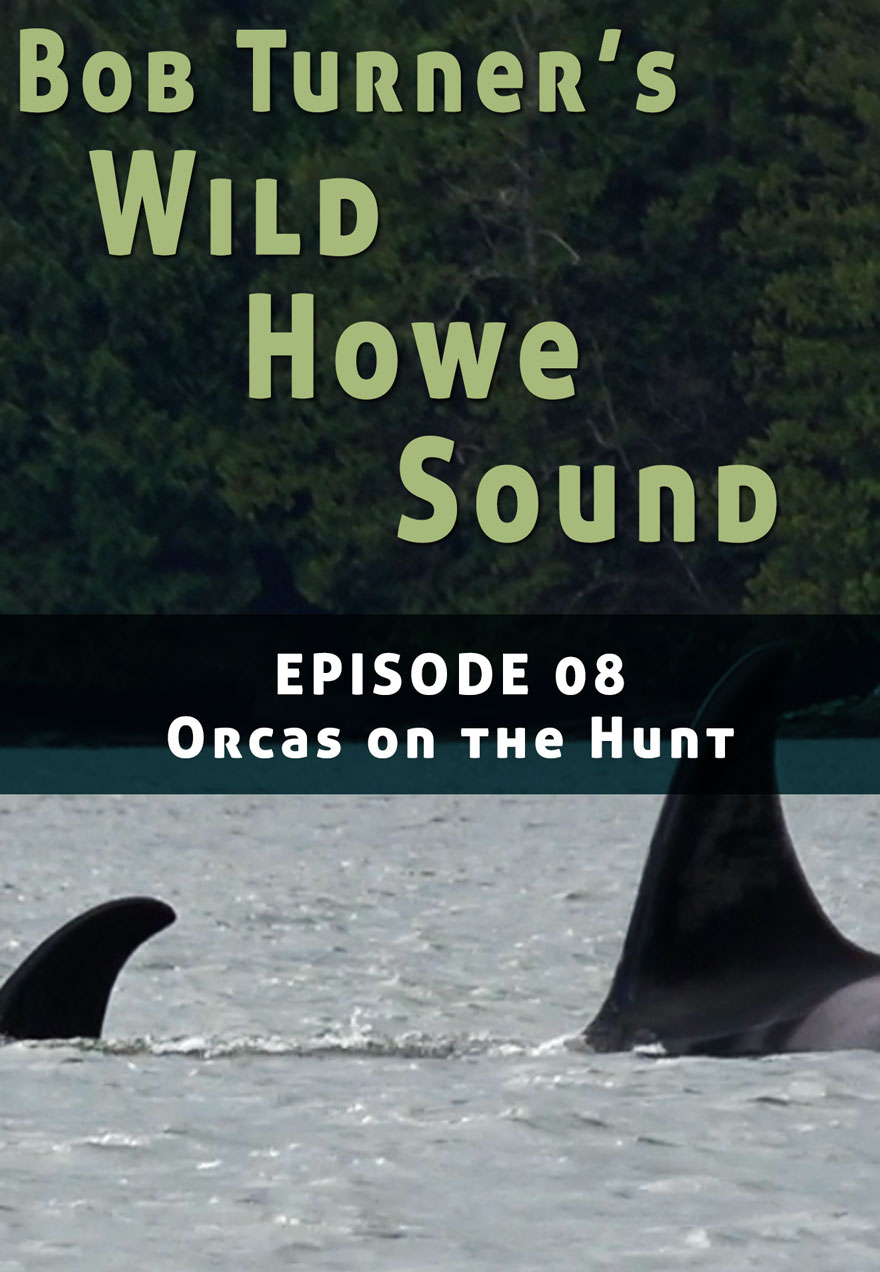 Poster of killer whales serves as a link to Bob Turner's Wild Howe Sound Episode 8 film page