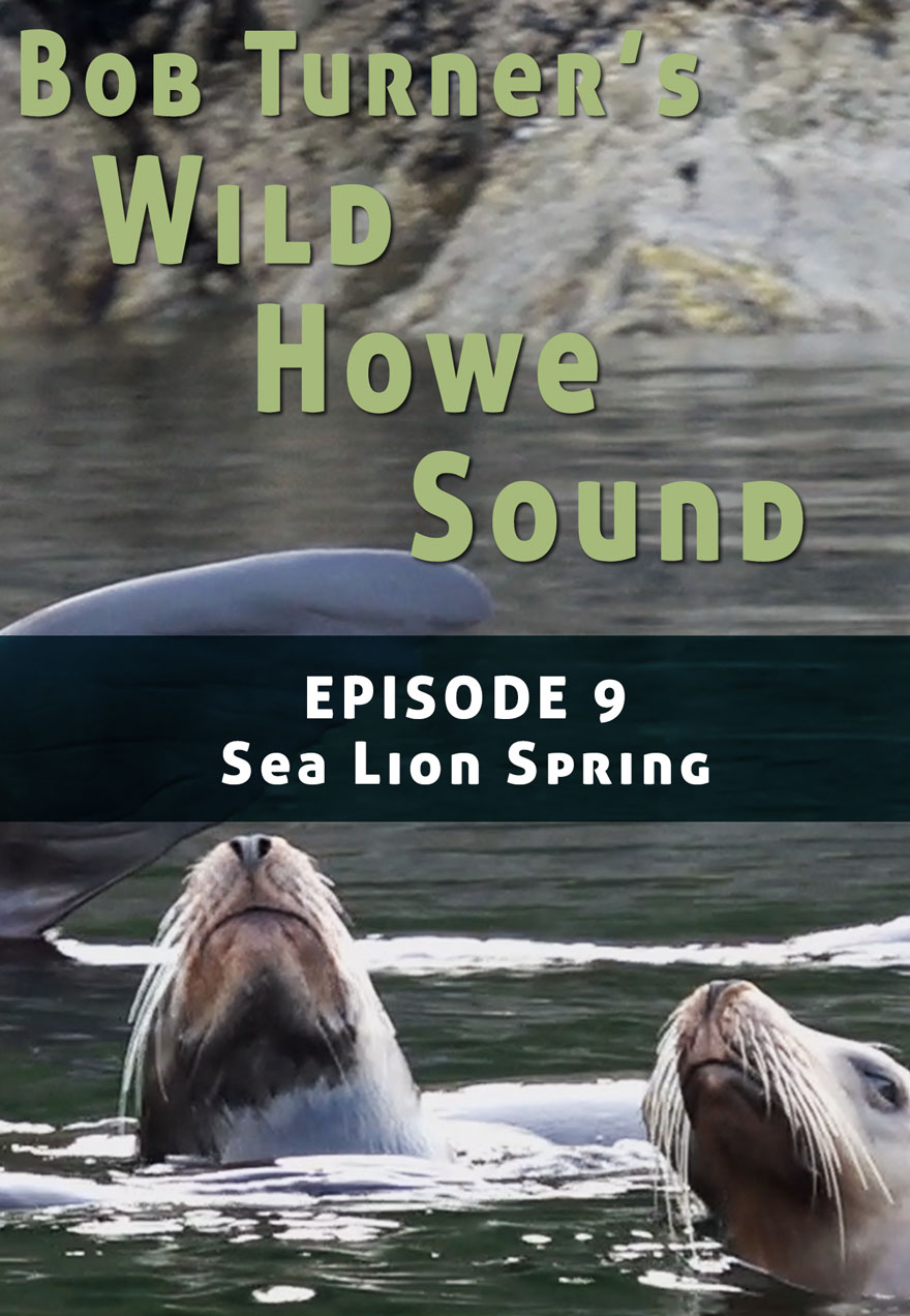 Poster of Sea lion serves as the link to Bob Turner's Wild Howe sound Episode 9 film page
