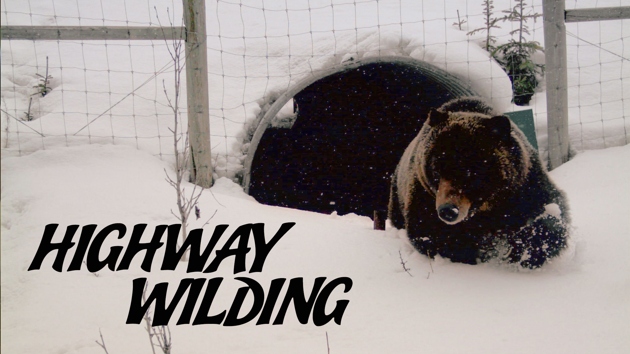 Photo of a brown or black bear crawling out of the man-made tunnel in the snow with the title Highway Wilding that acts as a link to the film page on The Green Channel